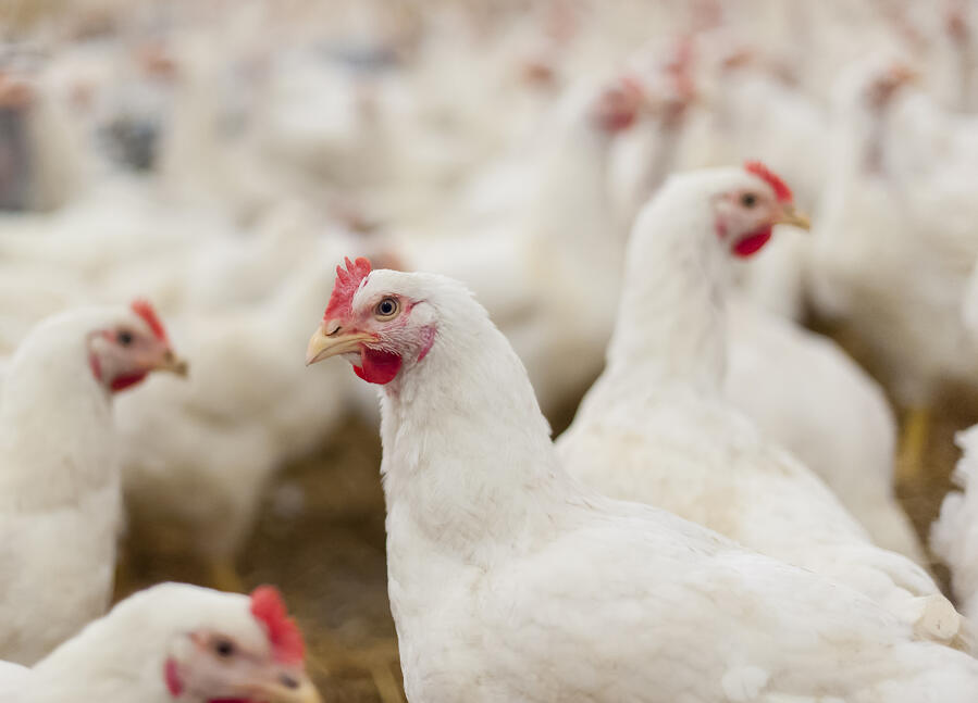 Challenges of Sanitizing Poultry Processing Equipment